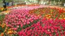 Парад тюльпанов Никитский  ботанический сад_14