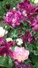 Парад тюльпанов Никитский  ботанический сад_1