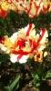 Парад тюльпанов Никитский  ботанический сад_21