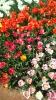 Парад тюльпанов Никитский  ботанический сад_23