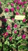 Парад тюльпанов Никитский  ботанический сад_38