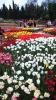 Парад тюльпанов Никитский  ботанический сад_3