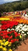 Парад тюльпанов Никитский  ботанический сад_56