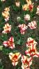Парад тюльпанов Никитский  ботанический сад_58